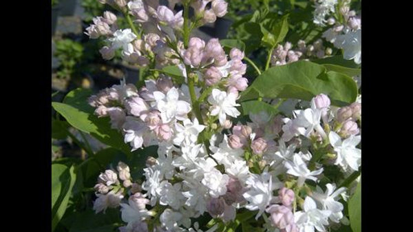 Lilac - Beauty of Moscow
