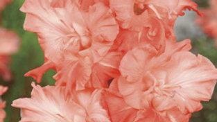 Gladiolus - Novelty Dutch - Charkov