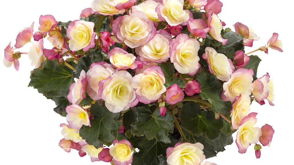 Begonia Glory - Bicolor