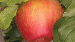 Apple- Honeycrisp
