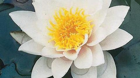 Waterlilly- Albida (White)