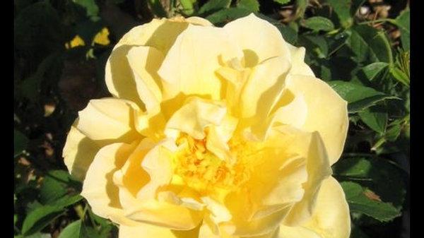 Rose- Topaz Jewel