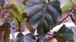 Birch - Royal Frost
