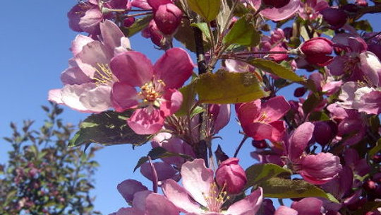 Crabapple- Thunderchild Flowering