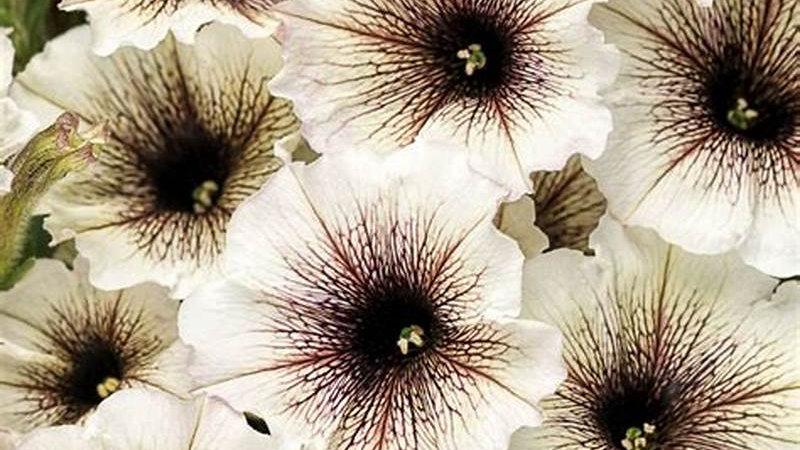 Petunia Supertunia - Latte