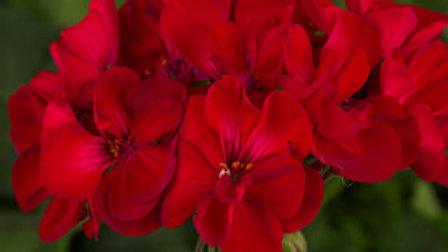 Geranium - Tango Velvet Red