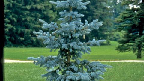 Spruce- Hoopsii