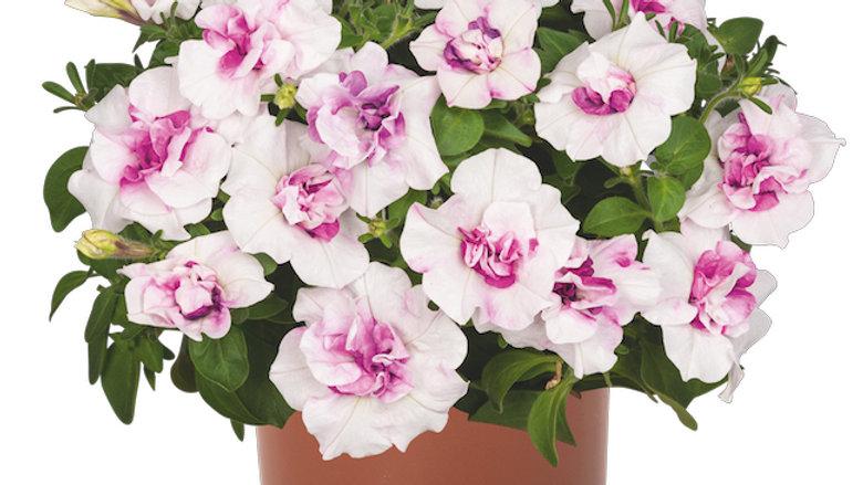 DBL Petunia - Pinkerbelle