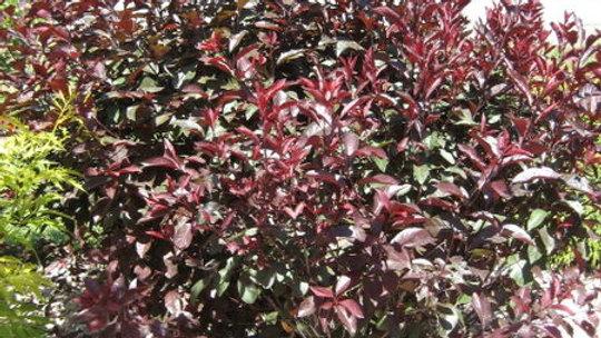 Purple Leaf Plum/Sand Cherry