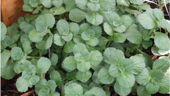 Coleus - No More Cats and Dogs