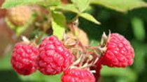 Raspberry - Red Bounty