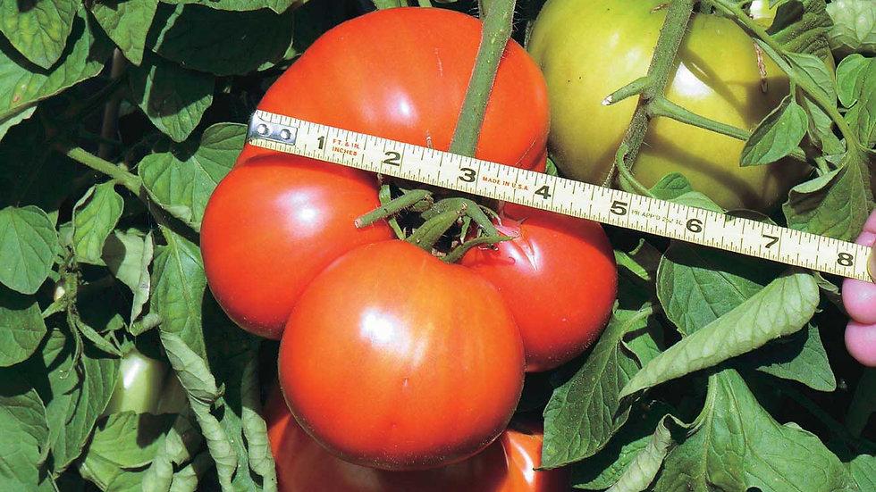 Tomato- Giant T&T