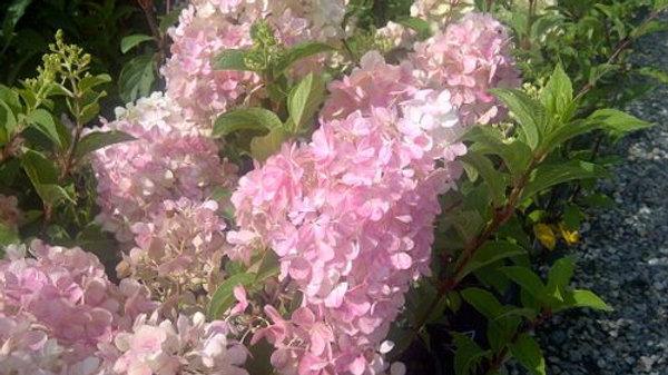 Hydrangea- Vanilla Strawberry