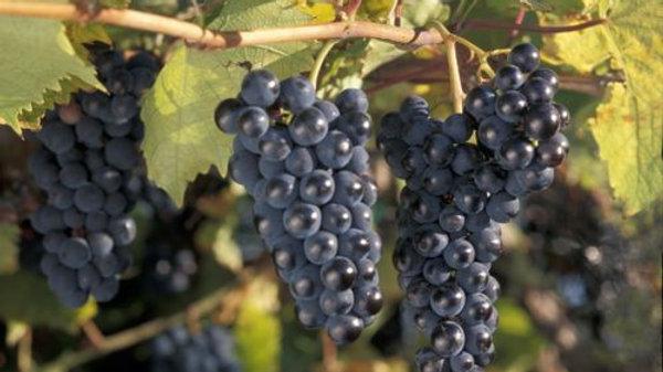 Grape- Marquette
