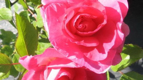 Rose- Modern Centennial