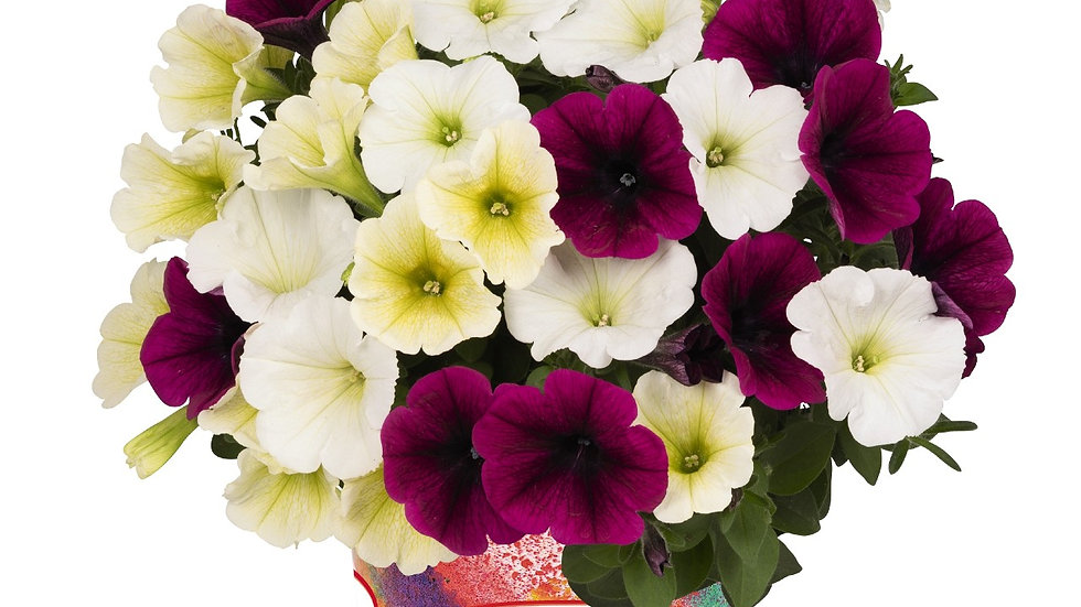 Petunia - Confetti Garden Tropical Sunrise