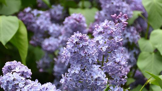 Lilac - Wedewood Blue