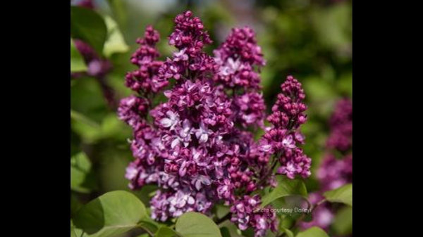 Lilac - Virtual Violet