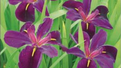 Iris- Black louisiana