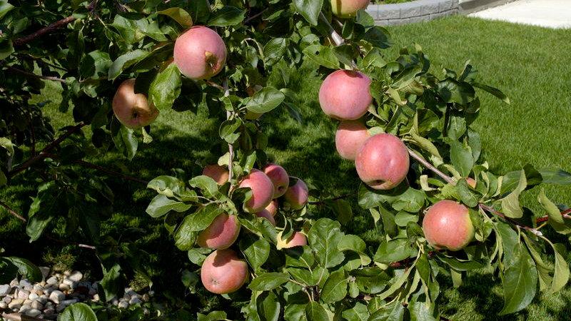 Apple- September Ruby