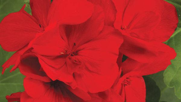 Geranium- Boldly Dark Red