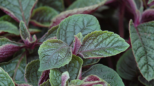 Plectranthus - Purple