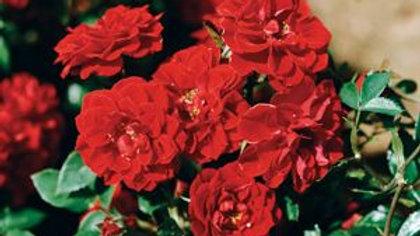 Rose- Scarlet Meidiland