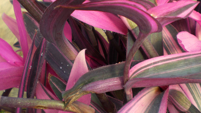 Setcreasea - Pink Stripe