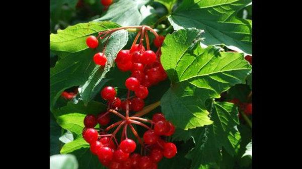 Cranberry - American Highbush