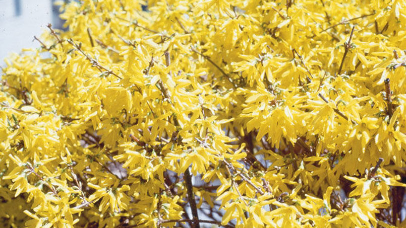 Forsythia- Show Off