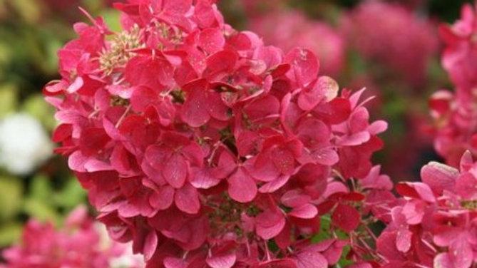Hydrangea-Diamond Rouge