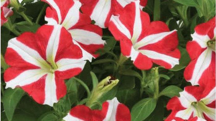 Petunia Amore - King of Hearts