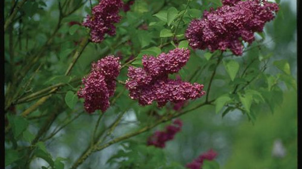 Lilac- Agincourt Beauty French