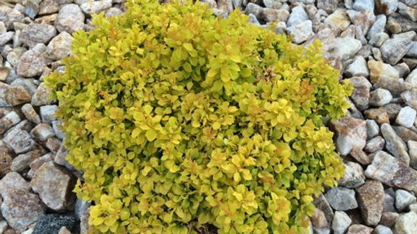 Barberry - Golden Nugget