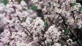 Lilac-Villosa Late
