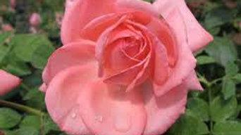 Rose- Canada Blooms