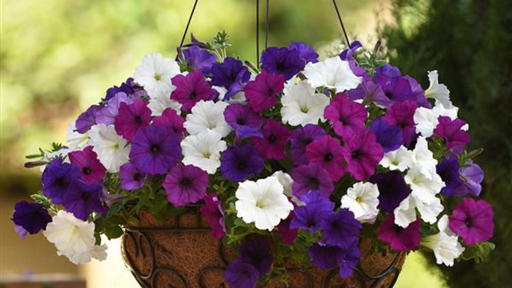 Combo Petunia - Easy Wave Great Lakes