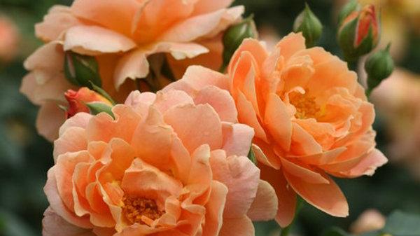 Rose - At Last