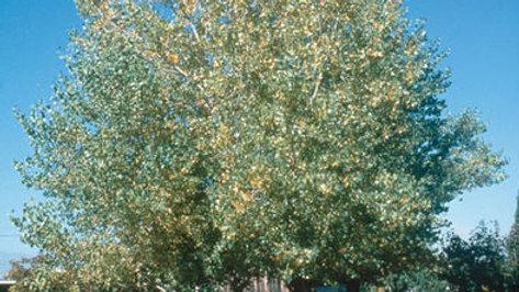 Poplar- Tristis
