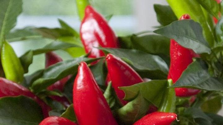Pepper- Hot Burrito
