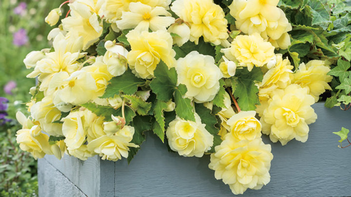 Begonia Illumination - Lemon