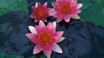 Waterlilly- Pygmea Red