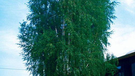Birch- Weeping Cutleaf