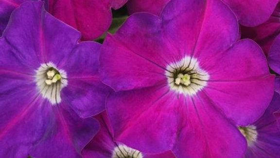 Petunia Crazytunia - Purple Prince
