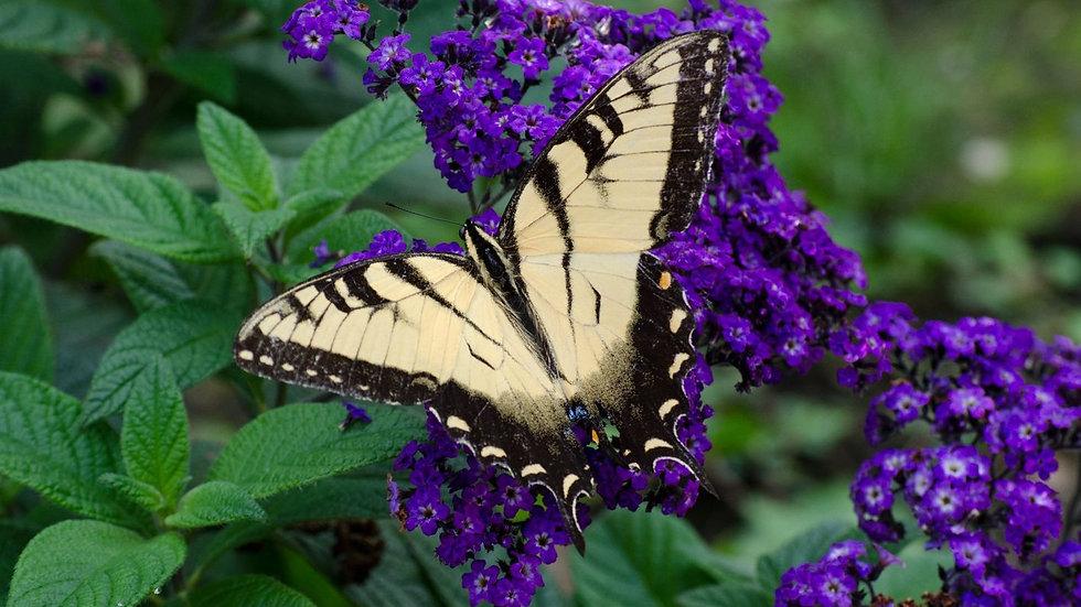 Heliotrope - Butterfly Blue