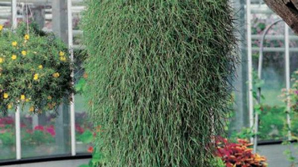 Argostis Green Twist - Bamboo Grass