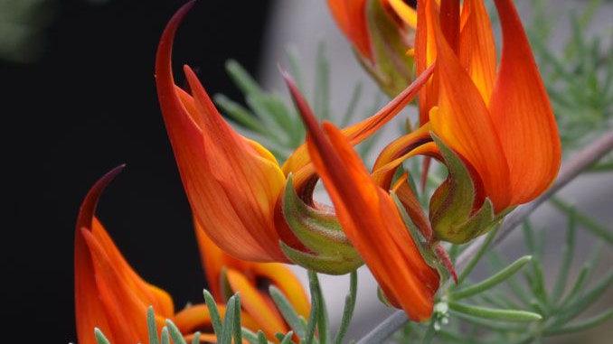 Lotus Vine Red (Parrot's Beak)