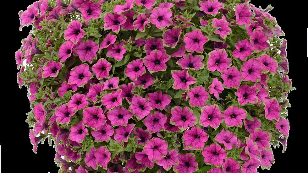 Petunia Cascadia - Pitaya