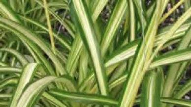 Chlorophytum - Variegatum (Spider Plant)