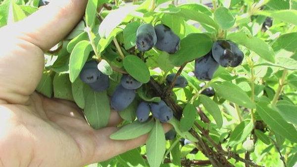 Haskap Berry - Borealis
